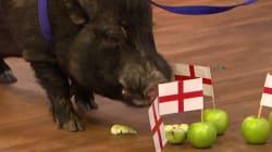 Harcelé, le cochon qui avait prédit la victoire anglaise au mondial contraint de se