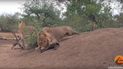 Lions Attack and Kill Hyena Cub In Its