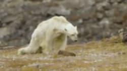 La triste imagen de un famélico oso polar en busca de