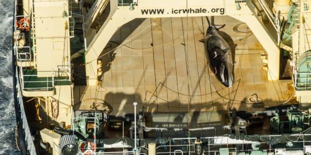 L'association SeaSheperd prend sur le fait un baleinier japonais en Antarctique