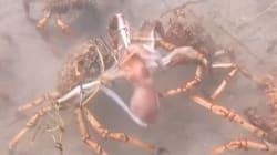 Ces crabes géants qui attaquent une pieuvre ressemblent aux zombies de