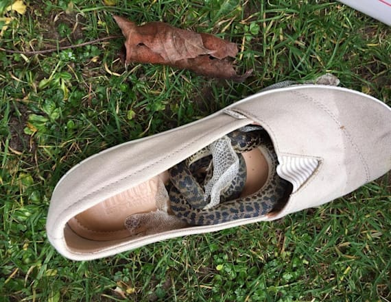 Tourist finds python hiding in shoe after vacation