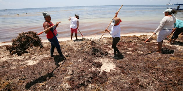 El sargazo sigue ahuyentando inversiones y turismo de Quintana Roo, donde cientos de trabajadores del gobierno y activistas ambientales luchan por mantenerlo lejos de las playas.