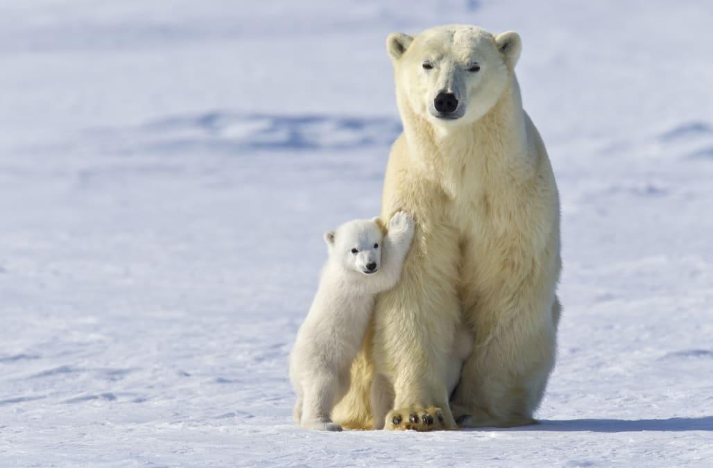 polar bears enjoy 39 winter wonderland 39 at california zoo. Black Bedroom Furniture Sets. Home Design Ideas