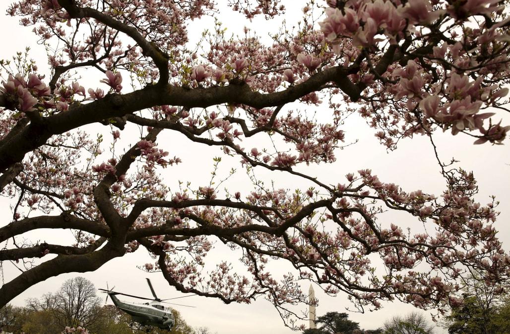 Historic White House Jackson Magnolia Tree To Be Cut Down Aol News