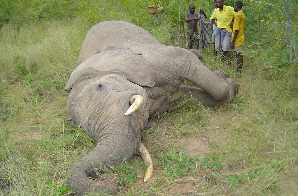 WASHINGTON The US Fish And Wildlife Service Is Planning To Reverse A Ban On Importing Elephant Hunting Trophies From Two Countries In Africa