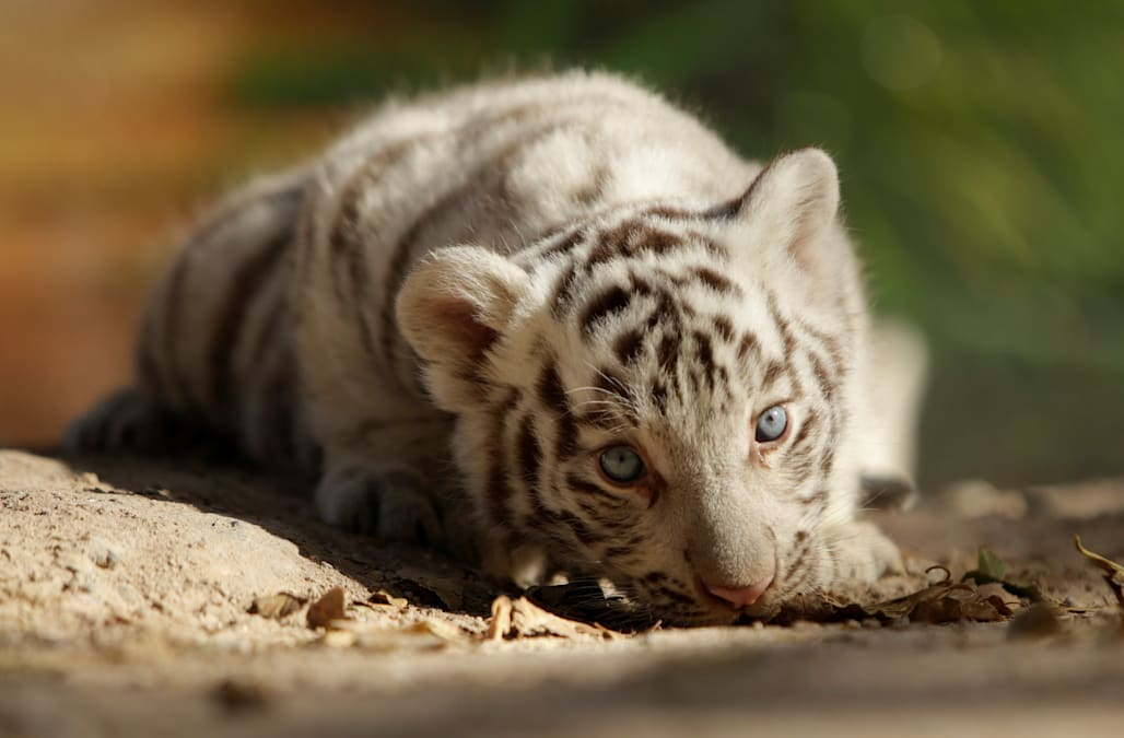 Winter Games White Tiger Mascot Symbolizes Protection But Sparks