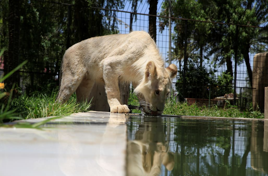26 And 27 To White Lion Mother Makali Doctors Said First 30 Days Of Life Would Be Crucial They Are Now Reportedly All In Good Health