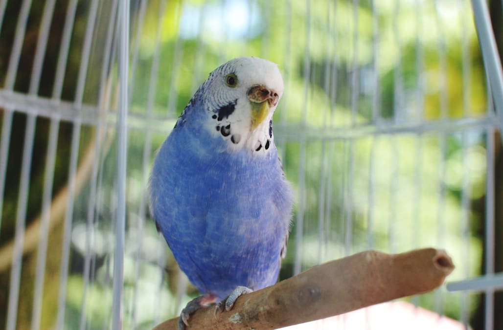 On the wings of love: Tiny blue budgie lays gentle kisses on