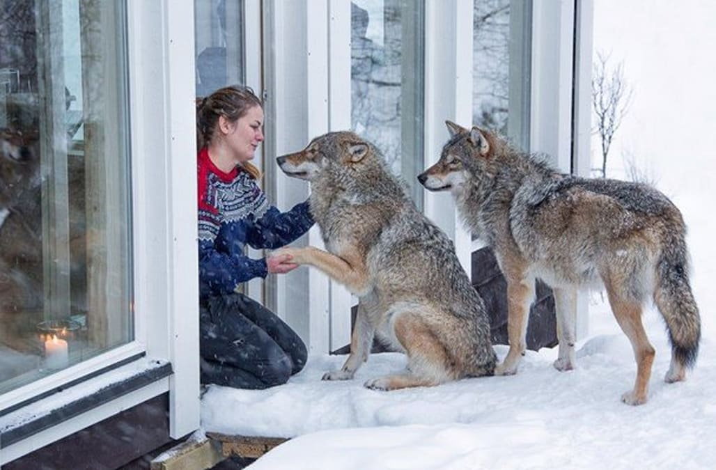 1f6610f0f963 Resort allows guests to get up close and personal with wolves - AOL News