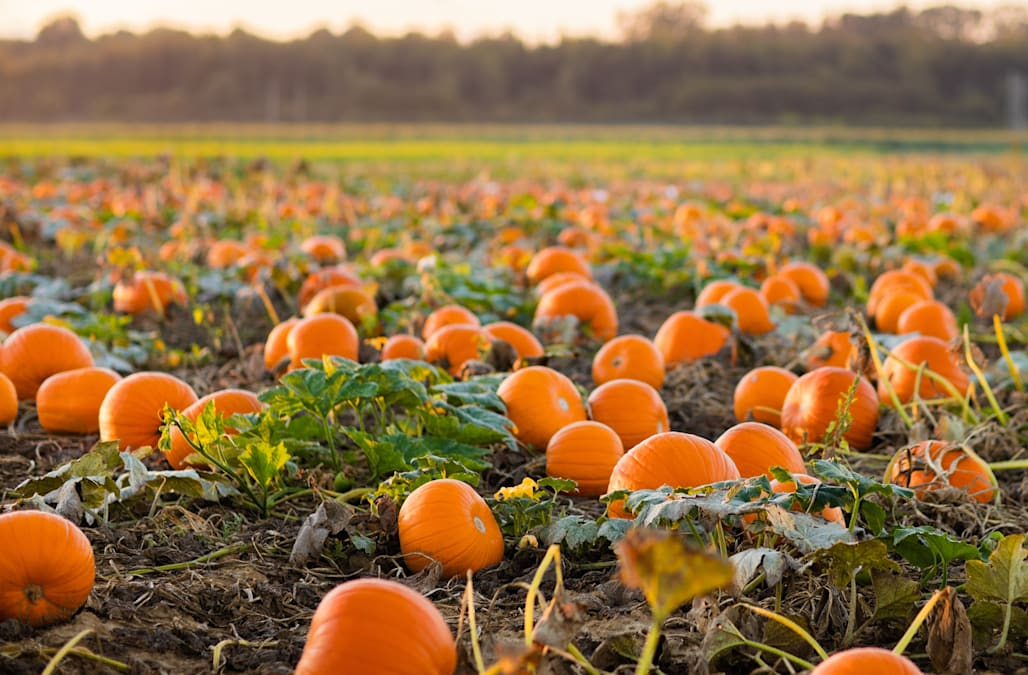 The Best Pumpkin Patches In America Aol Lifestyle