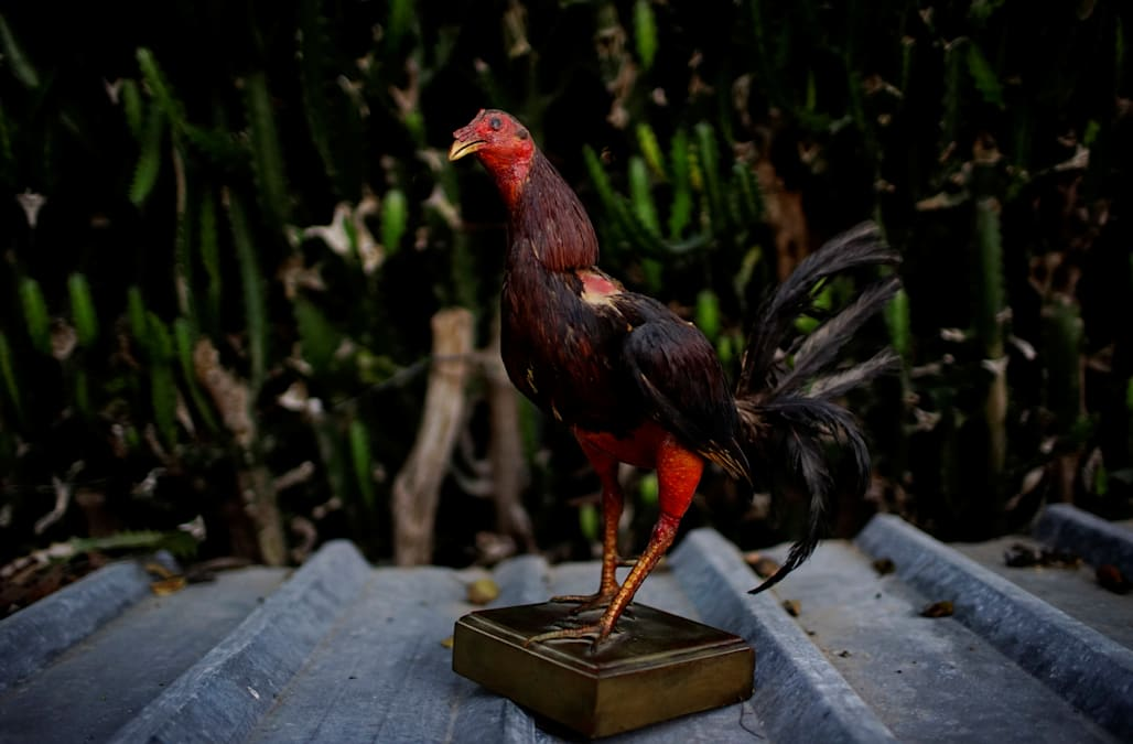 Cuban Cockfighter Rooster – Articleblog info