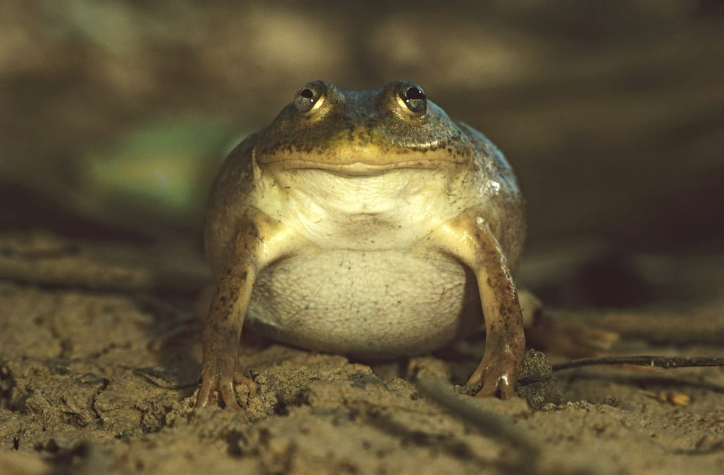 frog mucus can fight off the flu aol news