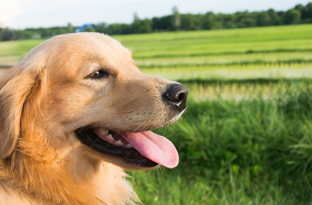 The Best Dog Breeds For Stressed Out Humans Aol Lifestyle