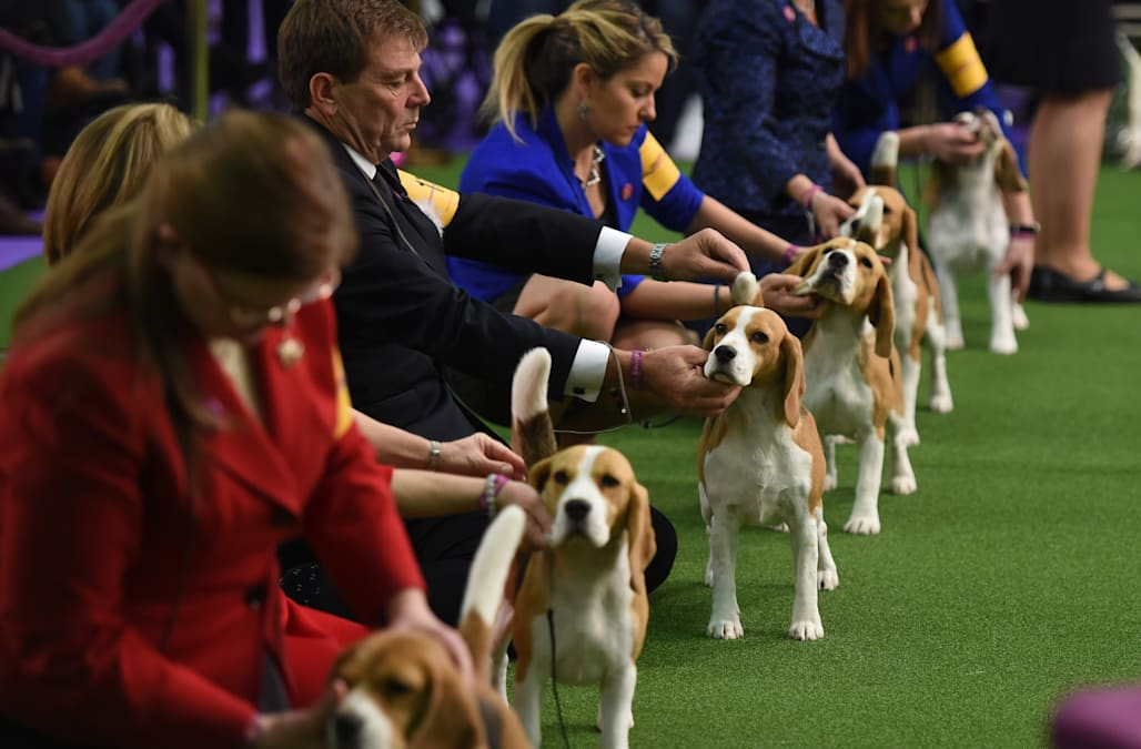 Distracted beagle wins everyone's heart at Westminster Dog