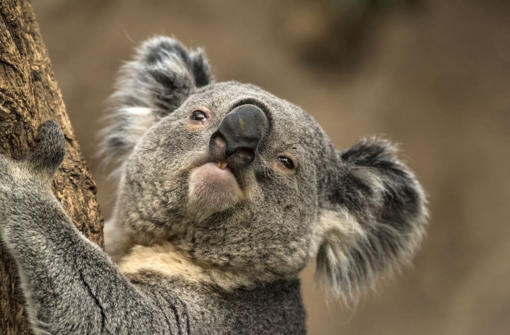 This koala's horrifying mating call sounds like your snoring