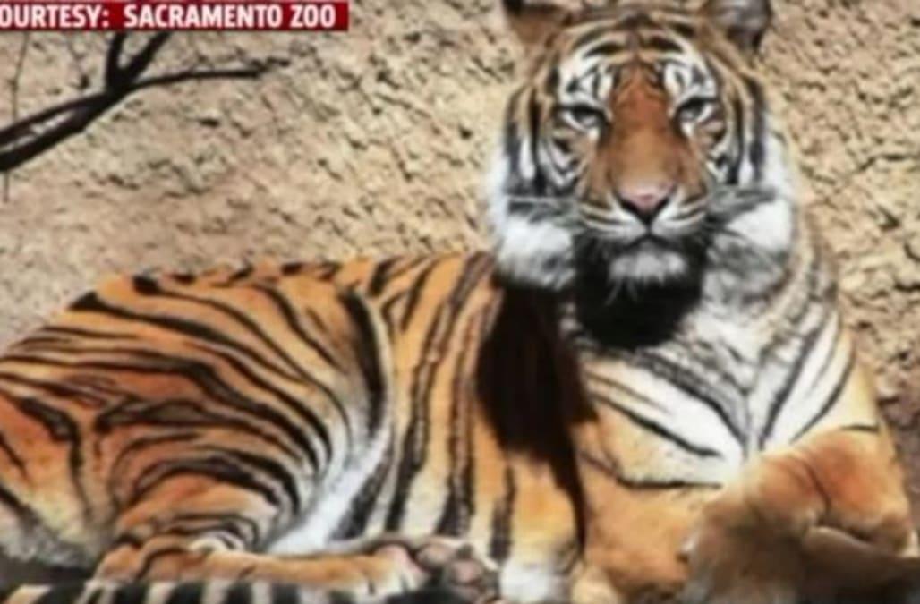 Tiger Killed At Sacramento Zoo   AOL News