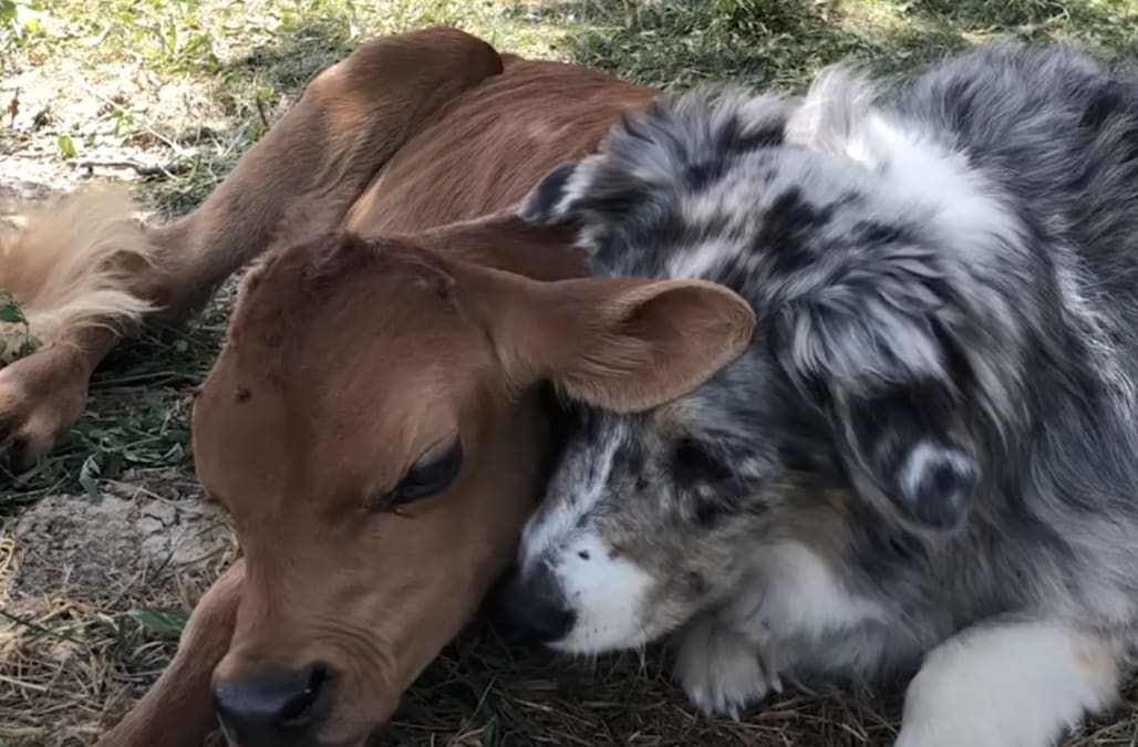 Rescued calf and Australian shepherd form adorable