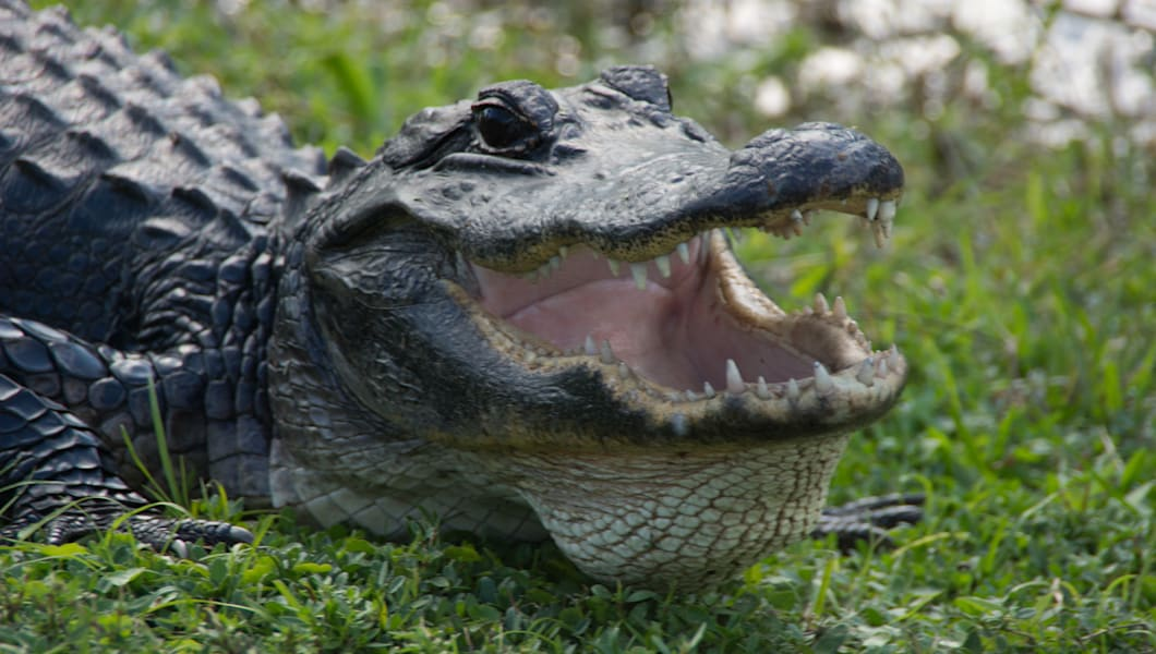 Alligator mouth open resting in grass beside canal, in Shark Valley.  Everglades National Park
