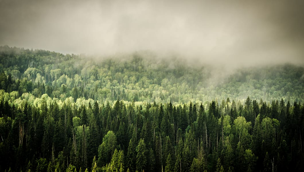 thick fog covered with thick coniferous forest