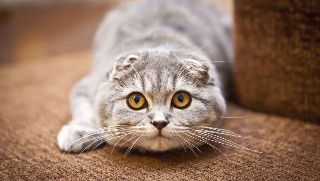 Shorthair Scottish Fold Cat