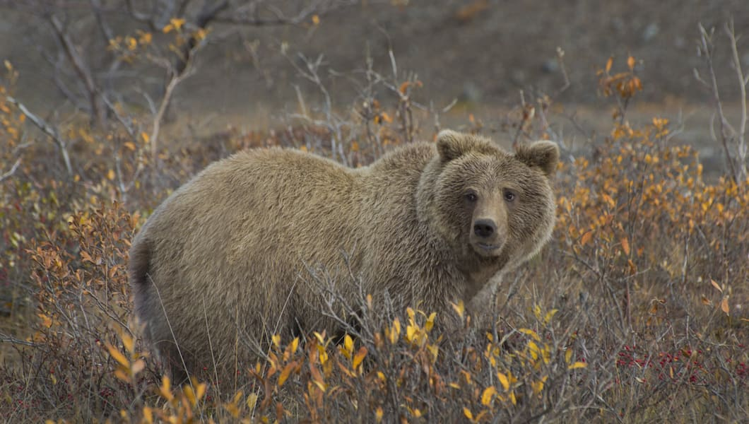 grizzly bear  ursus arctos  in...