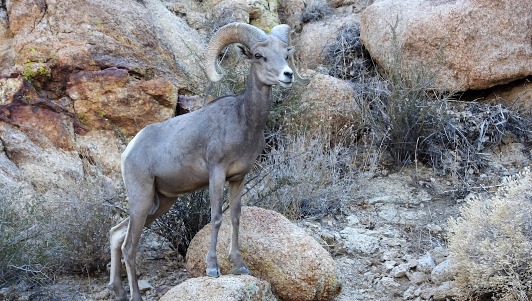 desert bighorn in joshua tree...