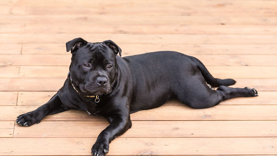 black, young, Staffordshire bull terrier dog lying, feet forward on wooden decking, patio.