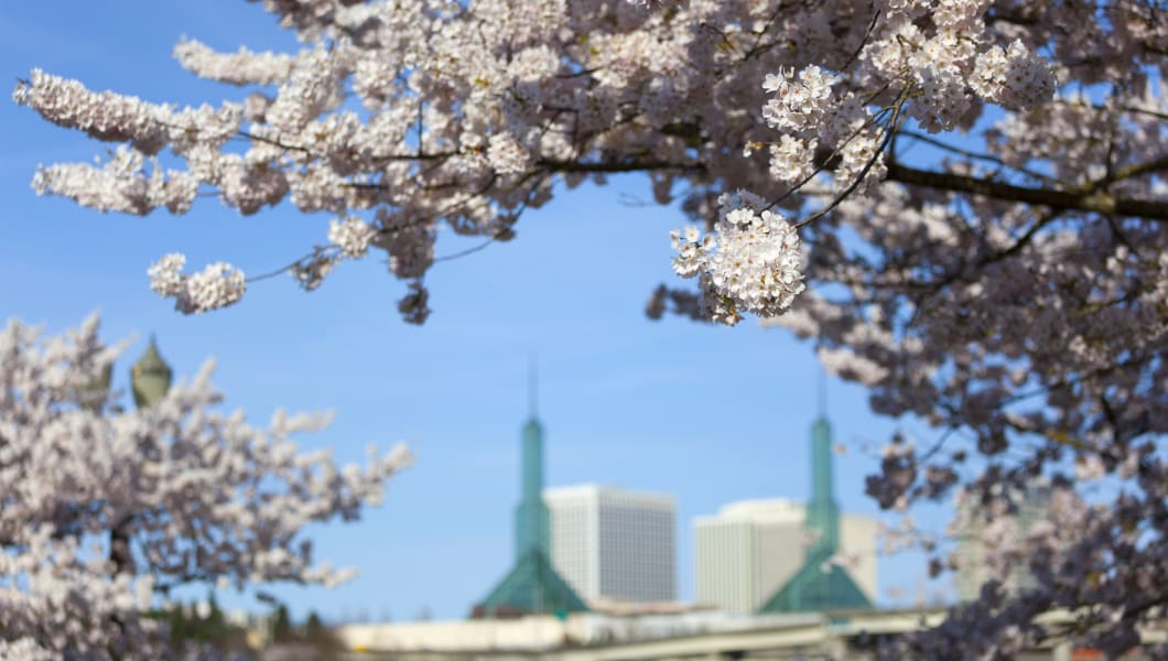 A view of the Convention Center glass towers through the blooming cherry trees on the waterfront in Portland, Oregon. Shallow depth of field with just the closest flowers in focus.