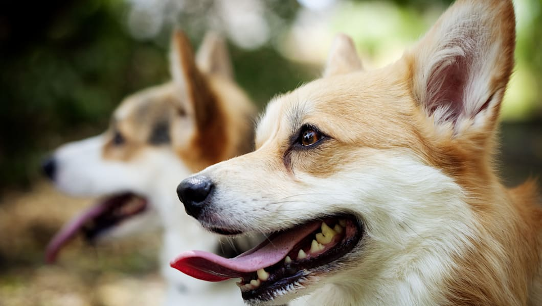 Two Pembroke Welsh Corgi dogs with their tongues out, one dog sharp in foreground and one dog blurred out in the background.