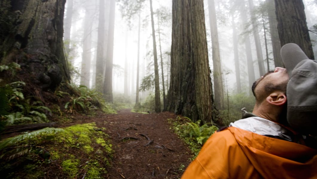 Redwood National Park, California. A hiker peers up at the some of the tallest trees in the world.