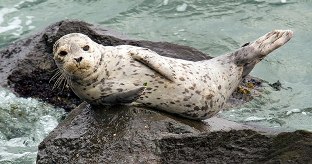 """the atlantic seal hunt essay (see """"the atlantic seal hunt—faqs i'm writing an essay on the seal hunt me start by saying that i am not proud of the canadian seal hunt."""