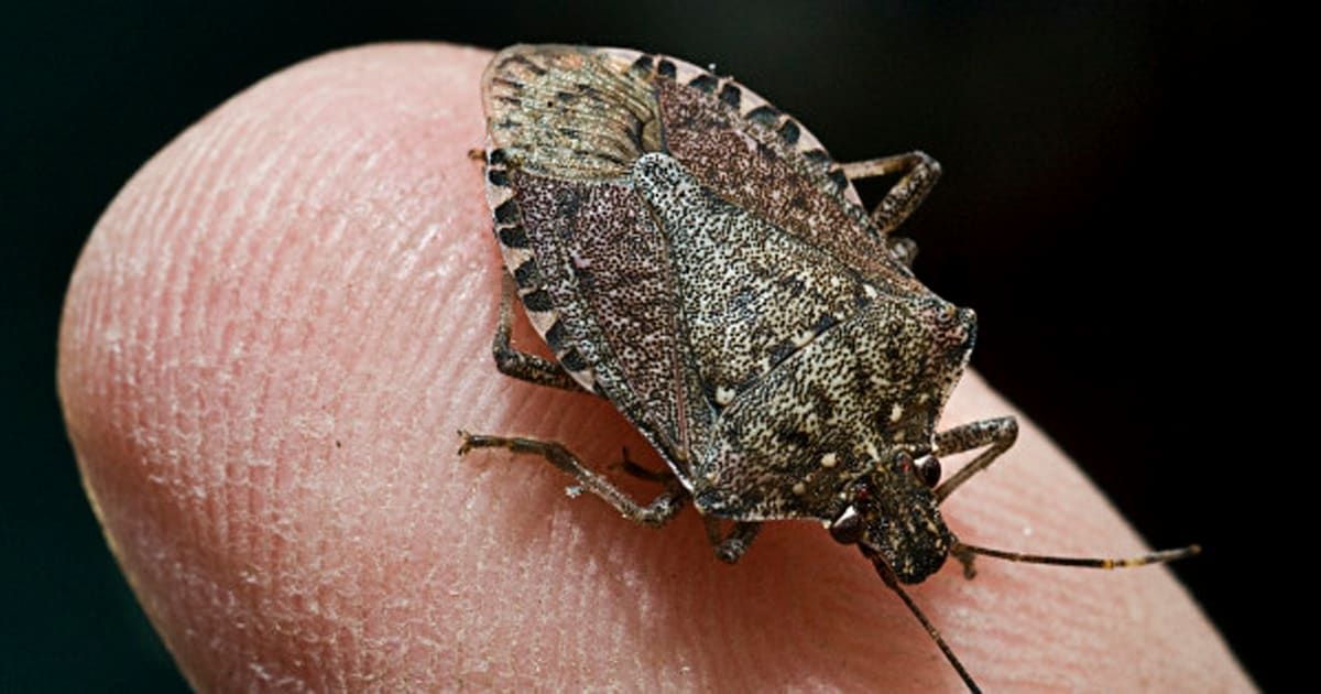 The Brown Marmorated Stink Bug Has Inundated Mid Atlantic Taking Its Toll On Crops Across Region Researchers Are Investigating Whether A Type Of