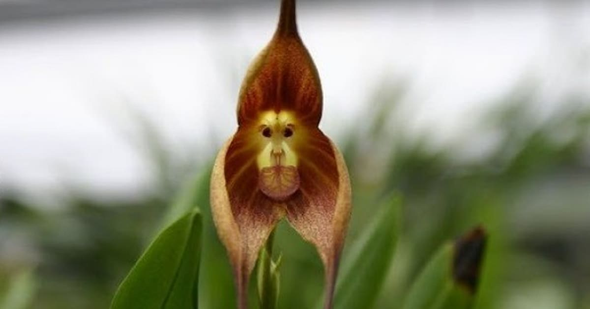 Conheça a orquídea que tem cara de macaco