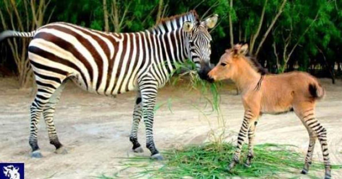 Filhote de zebra com jumento nasce em zoológico