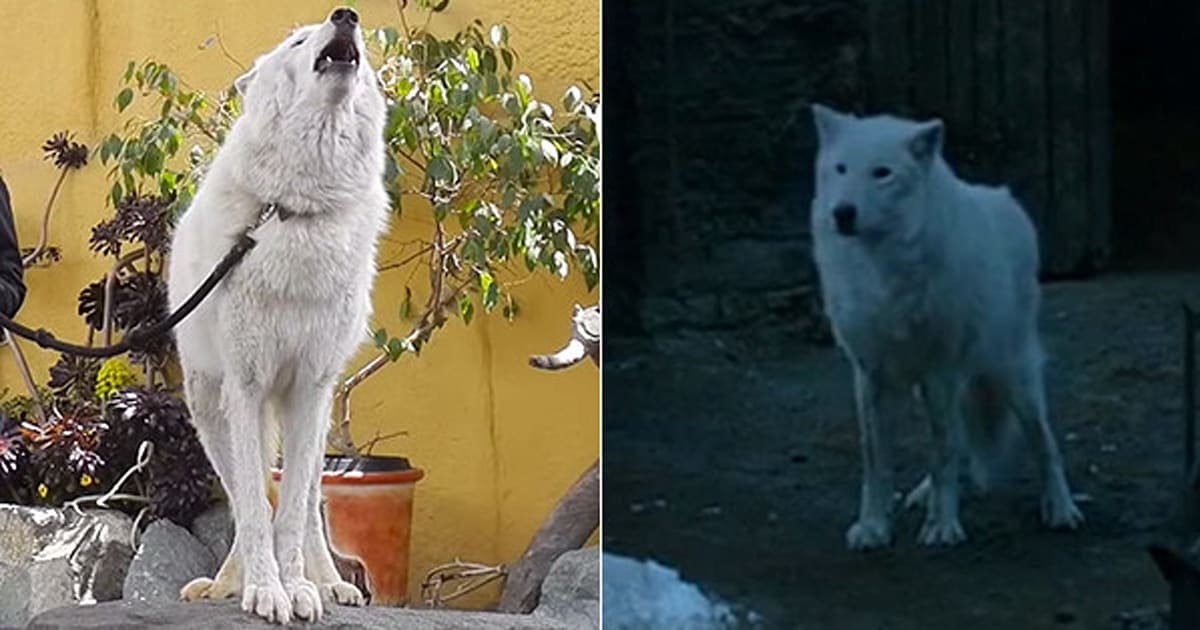 so direwolves are basically real huffpost canada