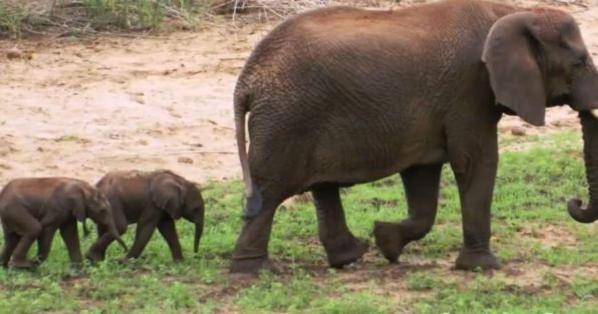 N F Elephant 2 Rare Baby Elephant Twi...