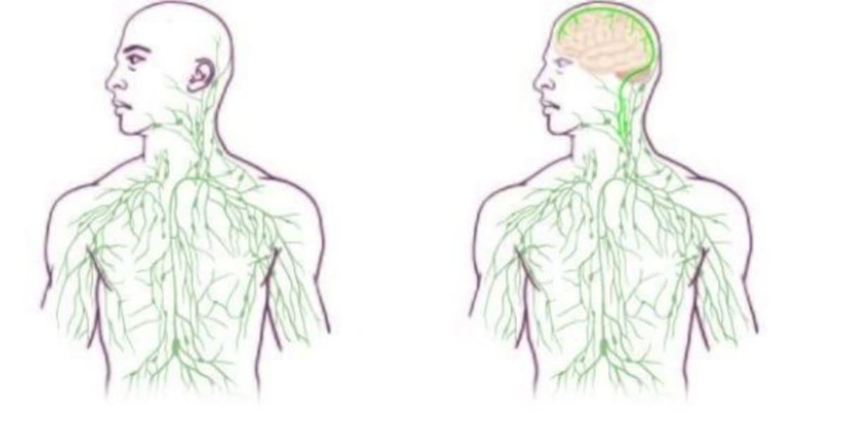 Estudo encontra ligação entre o cérebro e o sistema imunológico