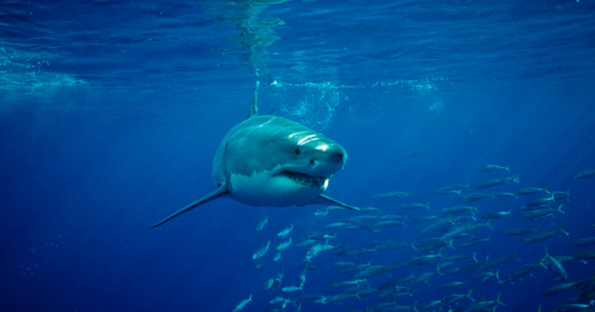 shark culling in australia Story highlights some 50 large sharks killed under culling scheme in australia's largest state western australia government says the program helps improve beach safety and adds to scientific research.