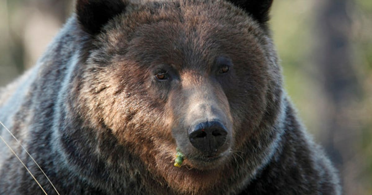 factors causing the decline of grizzly bears in america The grizzly bear is a sub-species of the brown bear, also known as the silvertip bear the grizzly bears live in the uplands of western north america, and each female bear produces a litter of young roughly every other yeargrizzly bears can often be seen.