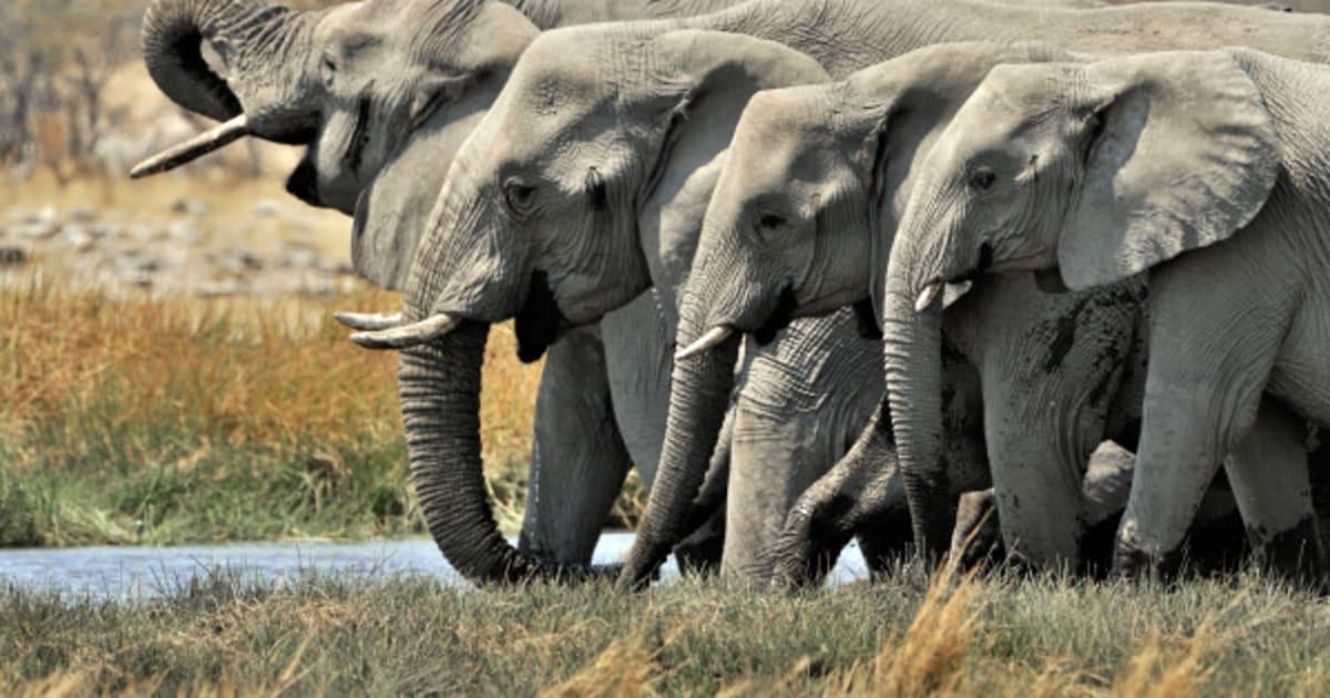 N F Elephant 2 African Savanna Elepha...