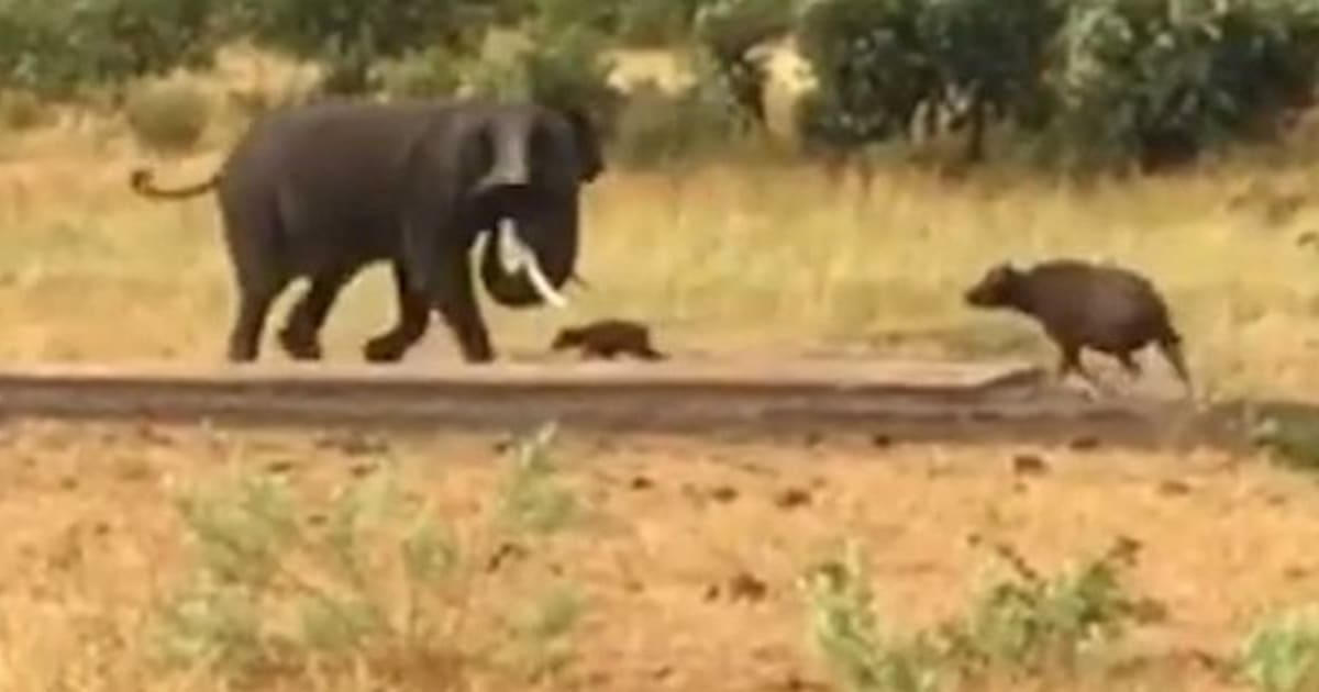 N F Elephant 2 Ce bébé buff...