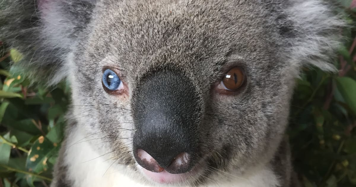 Beautiful Koala With Different Colour Eyes Rescued By