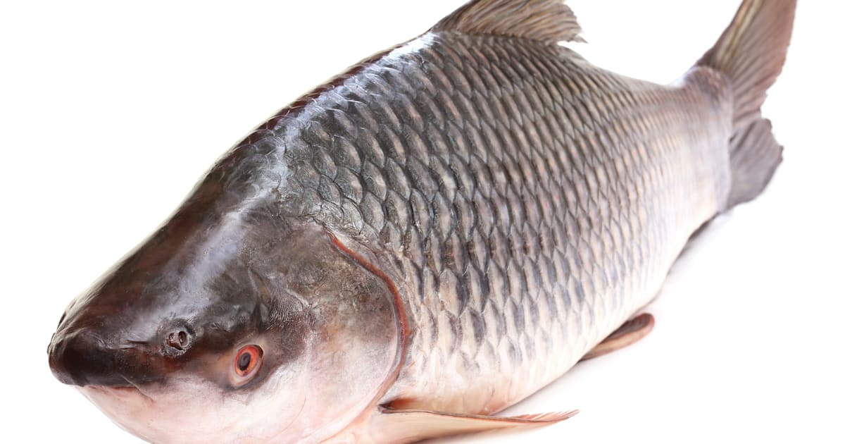 Oscar Fish Questions moreover Brunch Favorites besides 302799 Honduran Red Point Fry Vid together with If The Bjp Wants To Be The Big Fish In The Bengal Pond It Shoul a 22025300 furthermore Eataly Roma. on oscar fish food