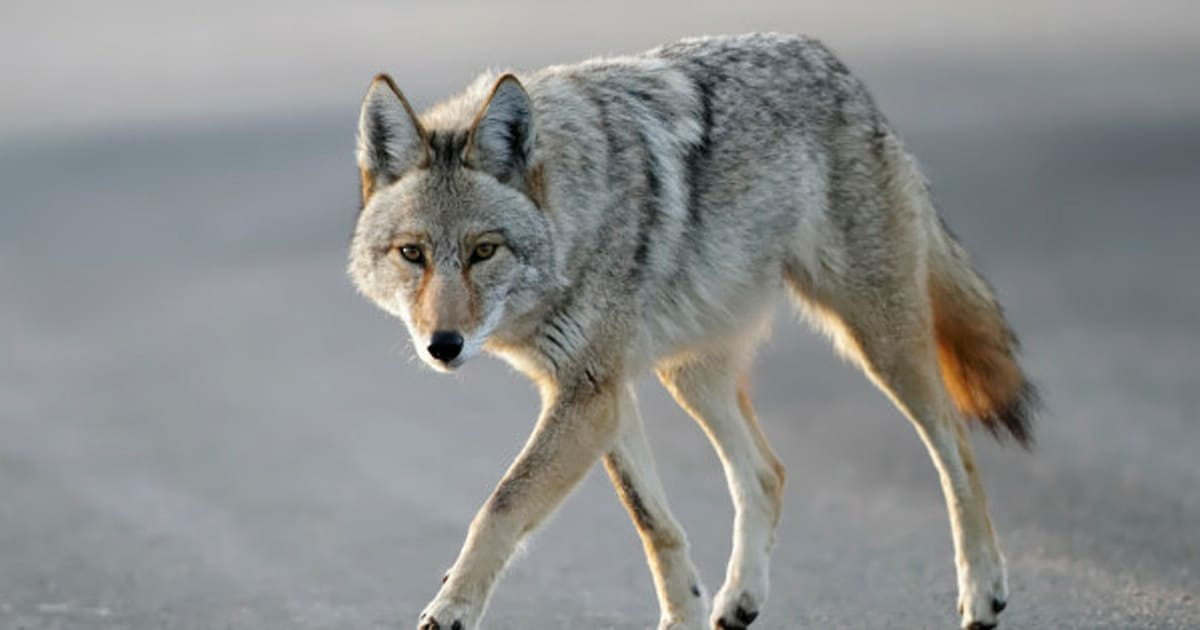 vancouver coyote sightings on the rise. Black Bedroom Furniture Sets. Home Design Ideas