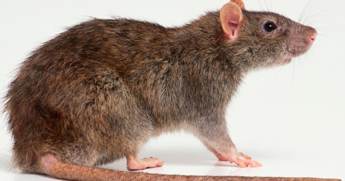 le rat voisin mal aim des citadins racont dans le livre dans les murs. Black Bedroom Furniture Sets. Home Design Ideas