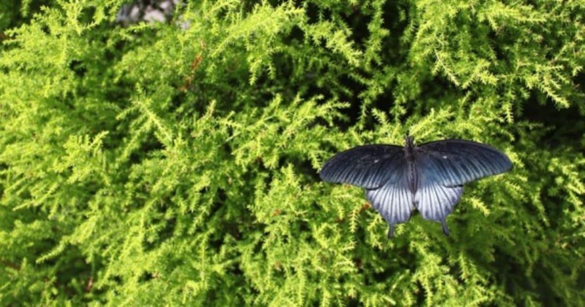 Papillons en libert au jardin botanique les chenilles for Jardin botanique montreal papillons 2016