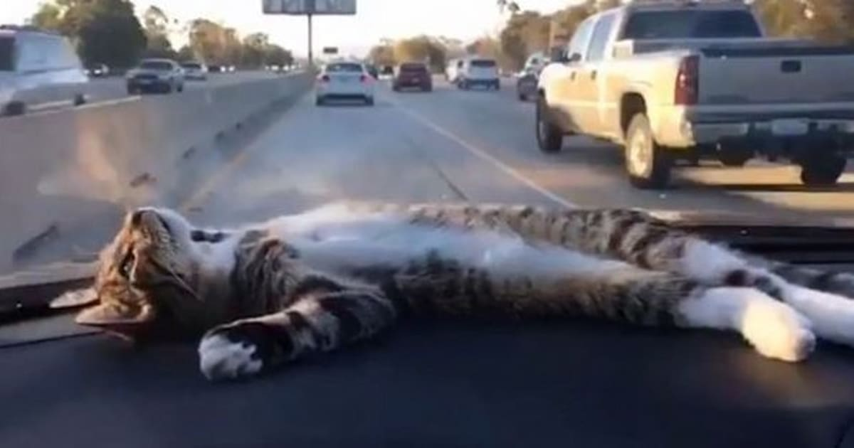 video rory the dashboard cat loves napping in the car. Black Bedroom Furniture Sets. Home Design Ideas