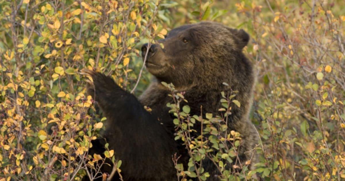 Медведь во сне ест ягоду