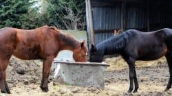 De la viande de cheval trouvée pour la première fois dans des lasagnes en
